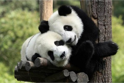 two Pandas in Chengdu