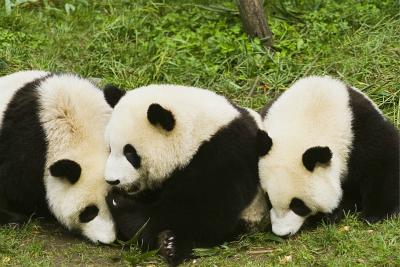 three giant panda