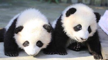 two baby pandas in china