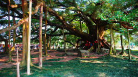 big banyan tree in china