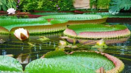 green lilly pads South China Botanical Garden
