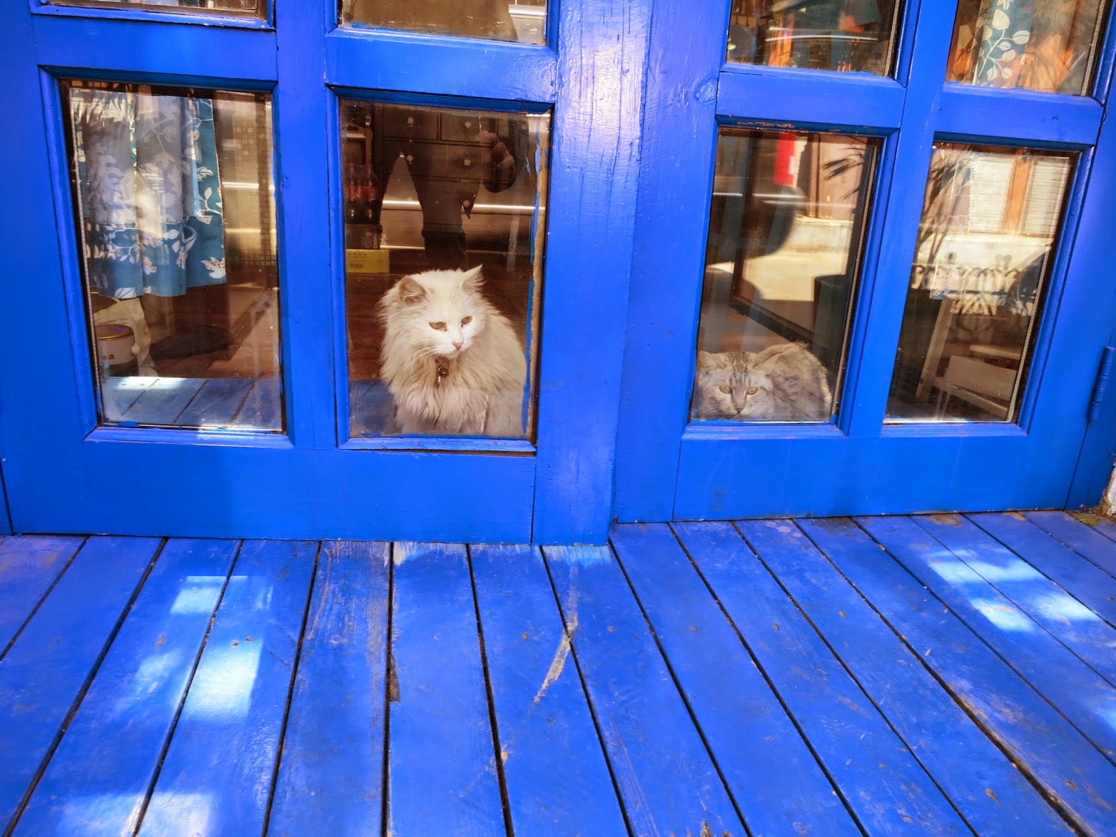 picture-of-white-cat-staring-out-blue-door