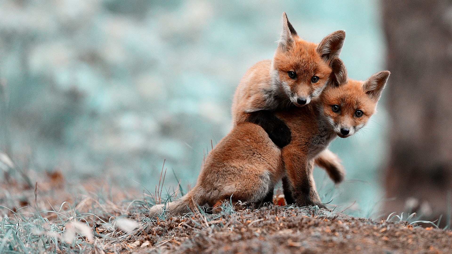 two baby red foxes playing in the wild