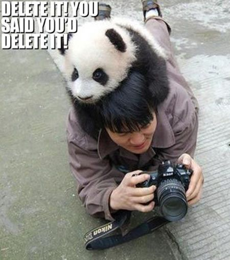 40 funniest pictures of panda bears on the internet right now 40 funniest pictures of panda bears on the internet right now voltagebd Choice Image