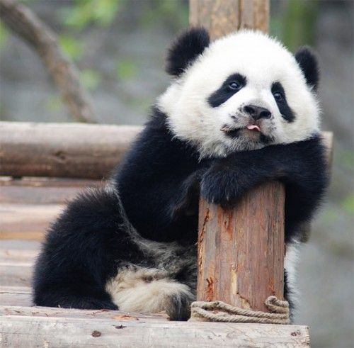 40 Funniest Pictures Of Panda Bears On The Internet Right Now