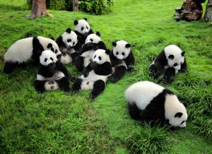 Giant Panda Sanctuary